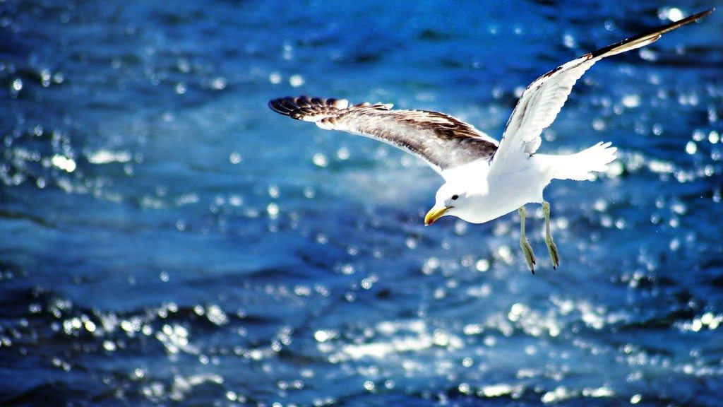 6919708-seagull-flying-wallpaper